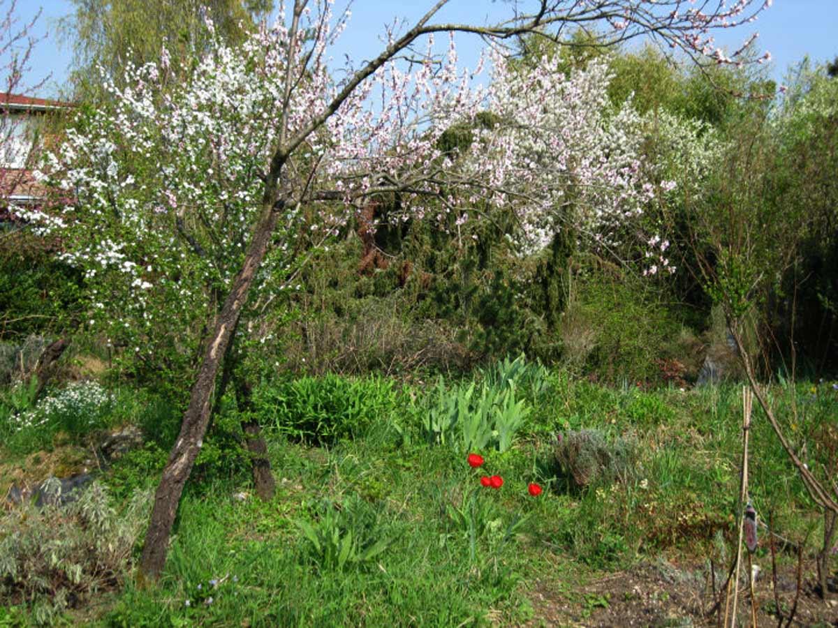 Blühender Pfirsichbaum im Garten